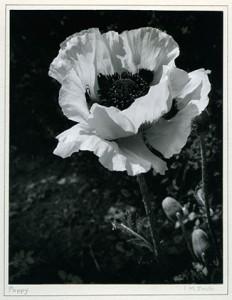 Isabel Smith Poppy
