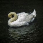 A Swan Preening by Zoe Meredith