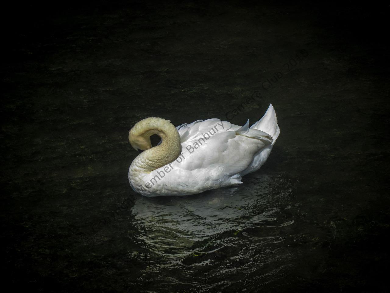A Swan Preening by Zoe Meredith