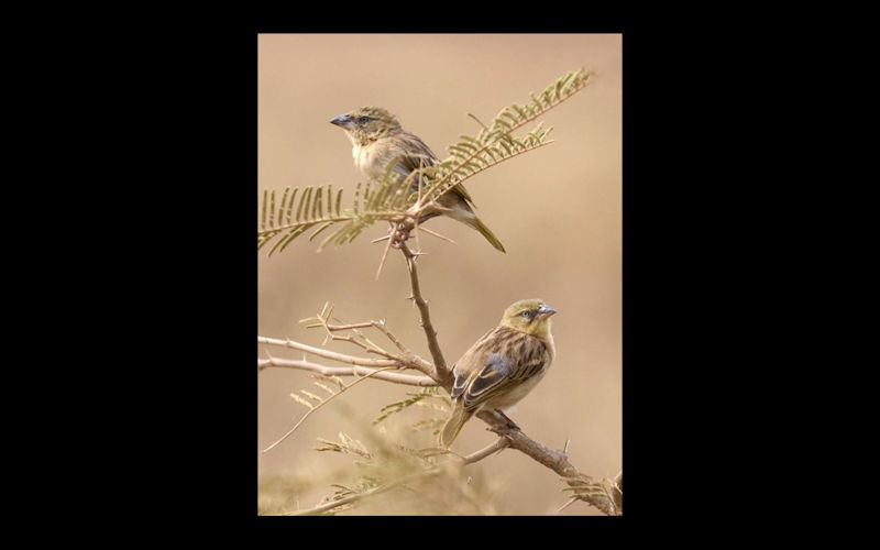 A Pair Of Finches